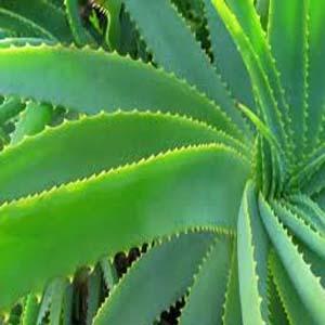 Side Effects Of Aloe Vera Juice
