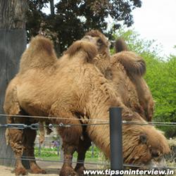 Funny Camels Picks