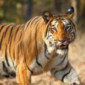 Save Tigers in india